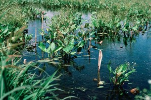 wetlands, restoration, yields, lush, vegetation