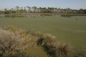 les zones humides, les algues