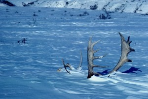 caribou, antlers, winter, scene