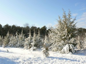 neige, couvert, pin, arbres, paysage