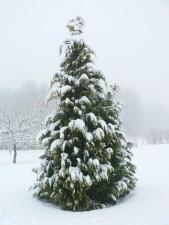 snow, cypress, tree