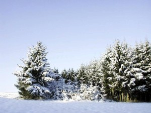 spruce, trees, covered, snow, winter time