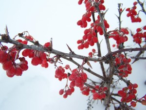 hiver, rouge, baies, neige, glace, le givre