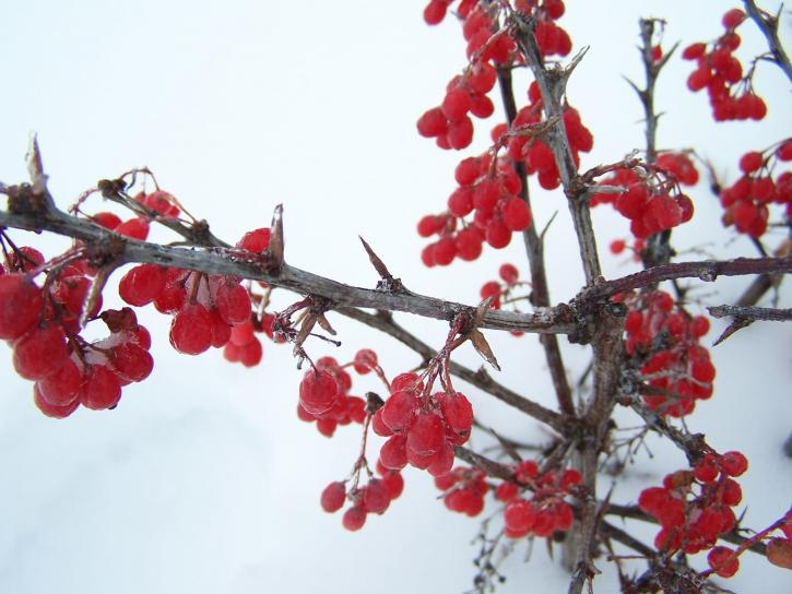 winter, red, berries, snow, ice, frost