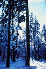 겨울, 숲, 산, 샤스타