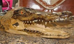 pepeljaru, krokodil, glava