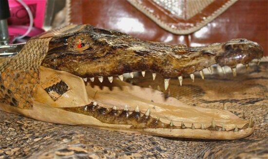 ashtray, crocodile, head