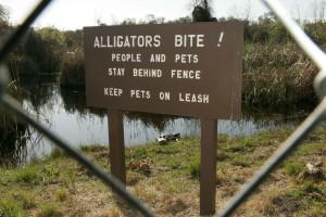 alligatorer, bit, tegn