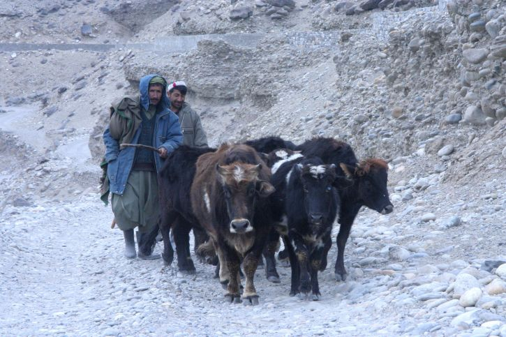 Afghanistan, men, cattle, travel, road