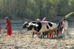 Афганистан, картофи, земеделие, жена, мъж, животни, полета