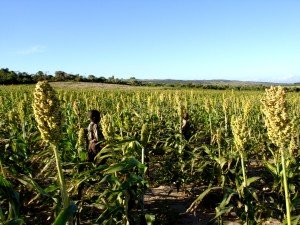 children, run, sorghum, field, scare, birds, locusts, field, Ambovombe