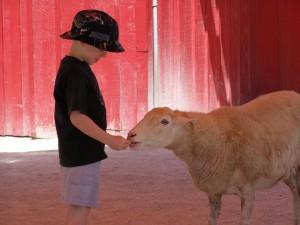 Fütterung, Schafe
