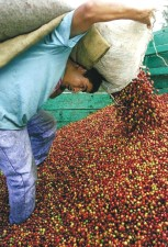 coffee, cherry, harvest, Guatemala, oversupply, coffee, world, markets
