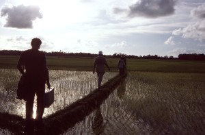 crossing, rice, paddies, man, earthen, bridges