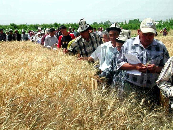 agricultores, campo, cultivos, la agricultura, el trigo