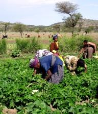 кілька, жінки, робота, зелений, квасоля, Сфера, Ефіопія