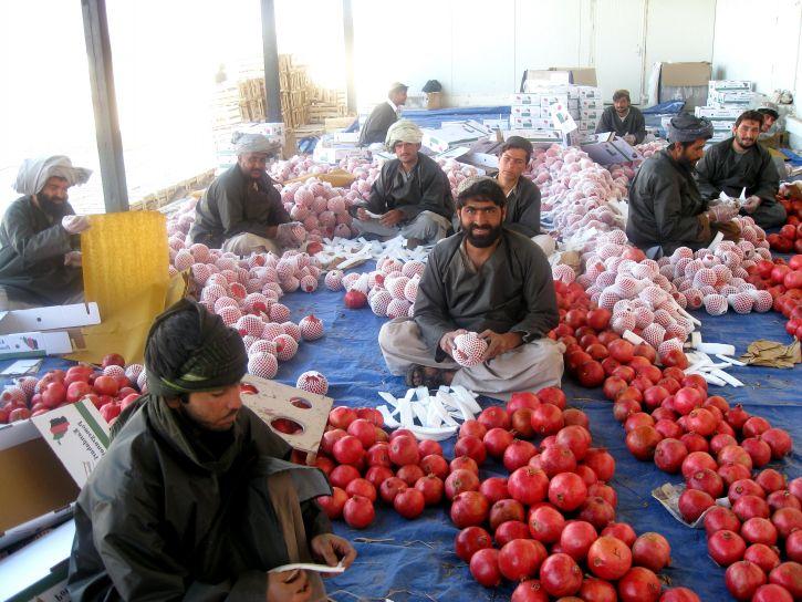 Granatapfel, Jahrhunderte, Afghanistan, hoch, Wert, Ernte