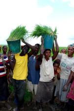 ryža, poľnohospodári, plodín, výnosy, lepšie, príjmy, podpora, rodiny
