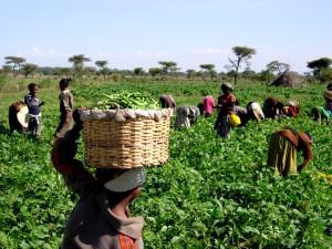women, children, pick, green, beans, sold, local, exporter