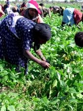 les femmes, les enfants, les travailleurs, sur le terrain, ramasser, vert, haricots, Ziway, Ethiopie