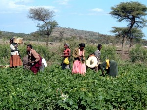 trabajadores, sobre el terreno, selección, verdes, frijoles, Ziway, Etiopía
