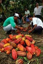 agriculteurs, équatoriens, Amazon, la récolte, le processus, le cacao, les haricots