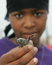 Afro American girl, up-close, baby, loggerhead, turtle