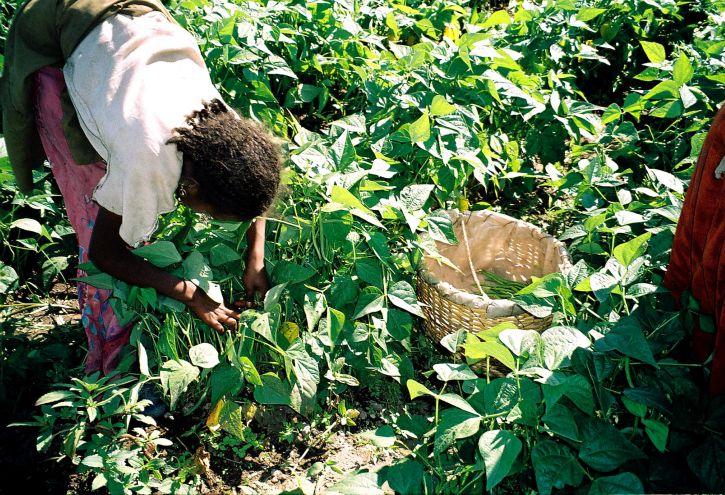 Etiopia, kvinne, høsting, grønn, bønner, eksportere, hjelper, mange, Etiopia, støtte, familier