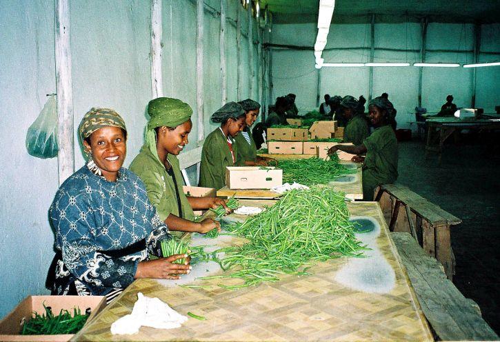 ethiopian, femmes, emballage, vert, haricots, export, Europe