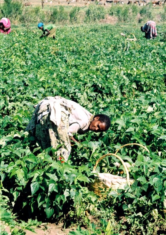 ethiopian, women, picking, string, beans, part, strengthen, local, agriculture