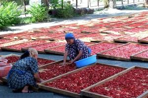 les agriculteurs, le Kirghizistan, d'apprendre, de séchage, de tomates, de diversifier, d'affaires