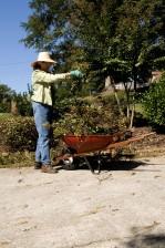 femme, cueillette, boutures, arbustes