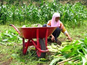 Žena, kukuřice, pole, jantang, malé, pobřežní, vesnice, zasazeno, podhůří, Lhoong, Indonésie