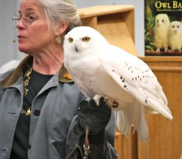 female, person, holds, snowy, owl, bird, bubo, scandiaca