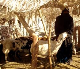 mujer, Yemen, cuidado, animales, hacia fuera, pueblo