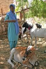 las mujeres, residente, Ramzan, Pathan, pueblo, dos, cabras, vacas