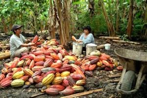 Pérou, agriculteurs, Cocalero, légumes, travaux