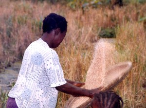 picture, worker, sifting, rice, grains, husks, Sierra Leone, Africa