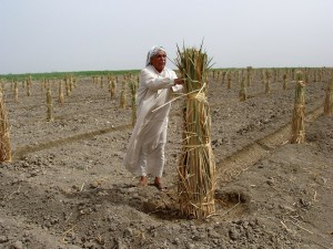 agricultural, support, iraqi, farmers, utilize, marshlands, grow, date, palms, shoots