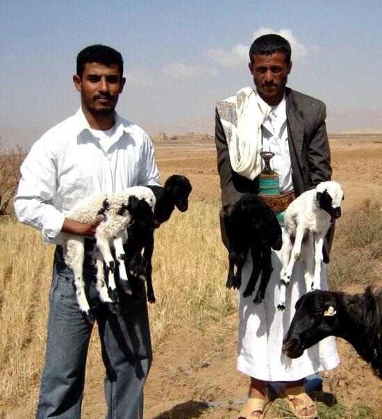 agricultural, program, Yemen, sheeps, farmers
