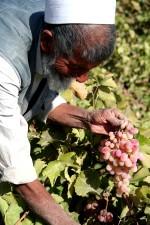 wynik, dostęp, wody, uprawy winogron, obfite