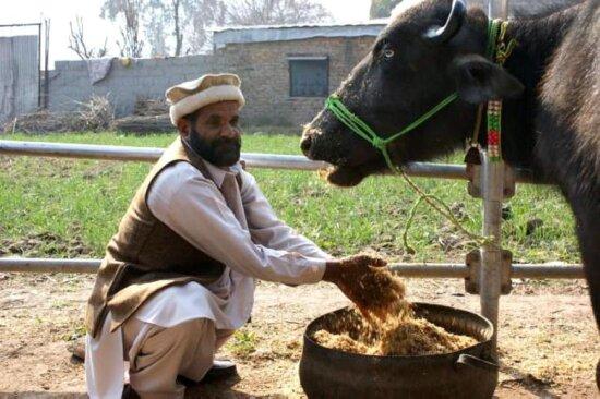 cattle, farmer, cow, Pakistan