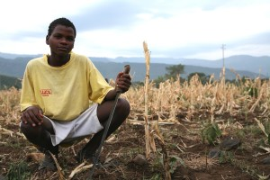 séché, champ, maïs, Arba, Minch, Ethiopie