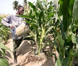 сухие, сезон, фермер, Adedetsekope, полив, кукуруза, растения, мелкие, колодцы