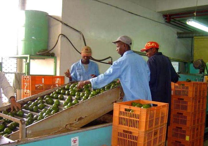 Ανατολής, Αφρικής, καλλιεργητές, άρχισε, καινοτόμο, το πρόγραμμα, την αγορά, βαθμός, αβοκάντο