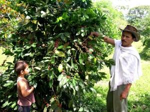 agriculteur, fils, inspecter, café, arbuste, plantés, champs, turbo, une fois, a grandi, illégales, les cultures