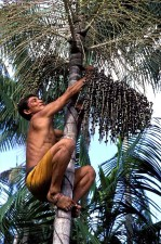 farmer, climbs, acai, tree, pick, berries, pulp, tropical, fruits