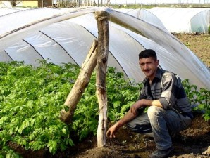 farmer, displays, potato, greenhouse