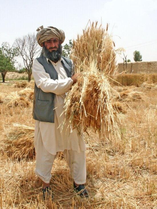 farmer, Mahool, Baloch, village, Loralai, district, gathers, part, abundant, harvest