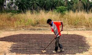 maanviljelijä, Gabela, Kwanza, maakunnassa, Angolassa, kuivuu, kahvi, kenttä, harvest